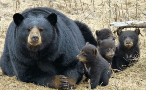 Mama bear and her cubs!: Mama bear and her cubs!