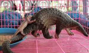 Mama Pangolin Carry Baby Pangolin On Its Back Inside Traffickers Cage. Please Don't Buy Their Scales. Critically Endangered Species. Part - 2: Mama Pangolin Carry Baby Pangolin On Its Back Inside Traffickers Cage. Please Don't Buy Their Scales. Critically Endangered Species. Part - 2