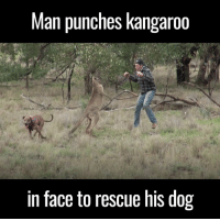 anything to save your dog: Man punches kangaroo  in face to rescue his dog anything to save your dog