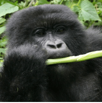 "Man, we here at @Science have way more in common with male gorillas than we thought. When the males of the species are chowing down, they have been known to hum and sing, which we're assuming they do because food is awesome. This is their way of saying ""Mmmm,"" and they sing louder and prouder when they're eating their favorite foods like seeds, flowers, and aquatic vegetation. Researchers hypothesize that male gorillas do this as a way to vocally signal the coordination of feeding activities in their group. Know someone who sings with their supper? Tag them in the comments!: Man, we here at @Science have way more in common with male gorillas than we thought. When the males of the species are chowing down, they have been known to hum and sing, which we're assuming they do because food is awesome. This is their way of saying ""Mmmm,"" and they sing louder and prouder when they're eating their favorite foods like seeds, flowers, and aquatic vegetation. Researchers hypothesize that male gorillas do this as a way to vocally signal the coordination of feeding activities in their group. Know someone who sings with their supper? Tag them in the comments!"