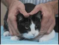 Advice, Beautiful, and Cats: manafromheaven:  meeshay:  pools-of-venetianblue:  this is the purest video you will see all day, it includes not only practical advice on how to make cats feel comfortable but also: the most patient and long suffering clawdia bob ross, but a vet squish the cat squish the cat, but with a towel   absolute unit mr. pirate a little chubby but quite beautiful please watch this immediately  SQUISH THAT CAT!!!!!!!!   remember to SQUISH THAT CAT
