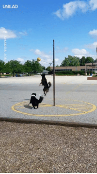 Dank, Game, and Good: MANDA JO Just two good boys having a friendly game of tetherball in the park! 😍😂