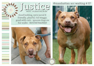 "Being Alone, Cats, and Children: @manhattan acc waiting 4 U!  Justice  66171 -10 years old, 66 lbs  Good looking, very social &  friendly, playful, tail waggy,  good with cats - ignores dogs on  his walks HOUSETRAINED TO BE KILLED - JUNE 25, 2019  Tender love! Justice will make a believer out of ANYONE! The shelter describes him as: welcoming, very friendly and social, soft bodied, affectionate, tail wagging, and attention seeking. But there's way more! This plump and super handsome love bug might be 10 in years, but is a million in heart. He is so inviting, and yes he will squeeze into your lap (as shown in his video) He is still very playful, but in a manageable and respectful way. He does super with other doggies, and drum roll... cats too! There's really nothing lacking in this boy, except for not having a home. . Justice wears a honey colored coat, with matching honey eyes that still sparkle, and a honey sweet, sincere smile. Quality inside and out! He is a role model for all doggies, and will bring charm and good vibes to any home. Now that he is placed on the TBD list, time is quickly closing in on him. Please message our page now to see him safely out of the shelter through fostering or adopting. .  JUSTICE@MANHATTAN ACC Hello, my name is Justice My animal id is #66171 I am a male tan dog at the  Manhattan Animal Care Center The shelter thinks I am about 10 years old, 66 lbs  Came into shelter as owner surrender 6/16/2019 Reason Stated: OWNER/PERSON HEALTH - Age related   Justice is at risk for medical reasons. Justice has GI tract issues which may be attributed to a pelvic fracture. Justice is recommended for further veterinary care and an orthopedic consult to better understand the causation of the ailment as well as determining future course of treatment and management. Behaviorally, Justice would do well in most homes.  My medical notes are... Weight: 66.6 lbs Vet Notes L V T Notes Medical Assistant 6/17/2019 [DVM Intake] DVM Intake Exam Estimated age: 10-12 years Microchip noted on Intake? Yes History : Owner surrender. Reported to not have had a bowel movement for over a week and straining to defecate.  Subjective: BAR Observed Behavior - Very friendly. Wagging his tail. No growling, lunging, biting, etc.  Evidence of Cruelty seen -No  Evidence of Trauma seen -No  Objective   T = P =120 bpm R =eup BCS 7/9  EENT: Eyes clear, ears clean, no nasal or ocular discharge noted Oral Exam: 2/4 PLN: No enlargements noted H/L: NSR, NMA, CRT < 2, Lungs clear, eupnic ABD: Tense, difficult to palpate deeply, could not palpate colon U/G: M/I MSI: Ambulatory x 4, skin free of parasites, a couple skin tags, no obvious masses, healthy hair coat CNS: Mentation appropriate - no signs of neurologic abnormalities Rectal: Clean externally  Assessment: -Constipated -Geriatric  Prognosis: Fair to good  Plan: -CBC/chem -Gave 40 oz sweet potato with 3 mL lactulose and 2 tbsp miralax mixed in food -Continue sweet potato 40 oz SID -Lactulose 10 mL PO BID in food long-term -Miralax 2 tbsp PO BID in food long-term -Sedated AXR tomorrow, thorough rectal exam, +/-enema (sedation: torb 1 mL IM, dexmedetomidine 0.8 mL IM) -Consider high fiber diet (w/d vs. fiber response)  SURGERY:  Permanent waiver due to age  6/17/2019  [Spay/Neuter Waiver - Age]  It is the policy of ACC not to perform surgery on any animal over the age of 8-10 years due to the higher risks incurred in a shelter setting. The veterinarian is hereby issuing a permanent spay/neuter waiver, from the spay/neuter requirements of the City of NY due to the estimated age of this animal. ACC does recommend you consult with your veterinarian to determine if surgical sterilization is appropriate.  6/17/2019  CBC: -Polycythemia-r/o dehydration vs. other NOSF  Chemistry: NSF  Total T4: wnl  6/18/2019  Hx: dog has been having dyschezia  BAR H pink 1 sec sedate and examination/radiographs  Radiology Findings: R Pelvic Fracture- ischeal pubic fracture near acetabulum with some compromise to the pelvic inlet; moderately large amount of stool in distal colon  Rectal exam- firm presence in cranial rectum; manually removed firm presence (very hard feces)  Several enemas given  CBC CHEM  6/18/2019  CBC CHEM- NSF  6/20/2019  Hx: had episode of obstipation-- responded to therapy. Has a fractured pelvis which has narrowed the pelvic inlet a little (old wound)  bar h pink 1 sec eating well; going to the bathroom  eent- mod tarta pln- wnl hl- 120 hr reg nm ss fp abd- relaxed msi- amb x 4  A) h/o constipation fractured pelvis-- old wound-- as dog is fully ambulatory rec'd ortho consultation  BM have been regular and non-painful  6/23/2019  Not eating well and seems constipated again  has a fractured pelvis (old) that is most likely affecting this dogs capability to defecate  A) dyschezia secondary to pelvic fracture and pelciv inlet compromise   P) seek New Hope  Details on my behavior are... Behavior Condition: 1. Green  Behavior History Behavior Assessment During intake Justice was friendly and affectionate will all staff members who entered the room. He had a loose body the entire time and allowed all handling without issue. He allowed counselor to scan for a microchip, collar, put on a leash, and give pets on his head and body.  Date of Intake: 6/16/2019  Spay/Neuter Status: Not Applicable  Basic Information:: Justice is a large mixed breed, male, who was brought in as an owner surrender.  Previously lived with:: 1 adult, 1 cat  How is this dog around strangers?: Justice is said to be welcoming and outgoing with strangers. It is said that he will jump on strangers to give them kisses. It is said that when he plays with adults, he will play exuberantly and can be a little rough.  How is this dog around children?: Behavior is unknown  How is this dog around other dogs?: It is said that when on walks, Justice is non-reactive towards other dogs.  How is this dog around cats?: Justice previously live with a cat and it is said that he was playful and respectful towards the cat.  Resource guarding:: It is said that Justice will growl when having his toys taken away. It is unknown how he will react to having his food or treats taken away.   Bite history:: No known bite history  Housetrained:: Yes  Energy level/descriptors:: Medium  Other Notes:: It is said that Justice can be hard to control when he is pulling on the leash. It is said that he isn't bothered by thunderstorms or fireworks. It is unknown how he will react to having his food and treats taken away, being taken off of furniture, bring given a bath, having his coat brushed, or having his nails trimmed. It is said that he will growl when having his toys taken away. It is said that when unfamiliar people approach the house, yard, and family members, he will bark. It is said that he is non-reactive to being restrained and being disturbed while sleeping.  Medical Notes: It is said that Justice might have a blockage.  For a New Family to Know: Justice is described as friendly, affectionate, and excitable. It is said that his favorite activity is running around. It is said that when in the home he will follow people around and enjoys being in the same room as the family. His favorite toy is said to be ball and he enjoys playing fetch. He was kept indoors and is used to sleeping in the bed with family members. He was fed both dry and wet food twice a day. It is said that he is house trained and to never has accidents in the house. It said that when left alone in the house that he is well behaved. He has never been left alone in the yard and has never been crate trained. He knows the command to sit. For exercise he is used to slow walks on leash and is said to pull hard. He has never been let off of leash.  Date of intake:: 6/16/2019  Spay/Neuter status:: No  Means of surrender (length of time in previous home):: Owner Surrender (In home for 5 years)  Previously lived with:: An adult and a cat  Behavior toward strangers:: Playful and exuberant  Behavior toward dogs:: Ignores them on walks  Behavior toward cats:: Playful and respectful  Resource guarding:: Yes, Justice will growl when toys are taken away from him.  Bite history:: None reported  Housetrained:: Yes  Energy level/descriptors:: Justice is described as friendly, affectionate, and excitable with a medium level of activity.  Date of assessment:: 6/17/2019  Summary:: Leash Walking Strength and pulling: Hard Reactivity to humans: None  Reactivity to dogs: None  Leash walking comments: None  Sociability Loose in room (15-20 seconds): Highly social Call over: Approaches readily Sociability comments: Body soft, stays by assessor   Handling  Soft handling: Seeks contact  Exuberant handling: Seeks contact  Handling comments: Body soft, leans into pets  Arousal Jog: Follows (loose) Arousal comments: None  Knock: Approaches Knock Comments: loose  Toy: Grips, tense Toy comments: None   Summary:: 6/17: When introduced off leash to the female greeter dog, Justice allows approach but mostly keeps to himself. Due to medical concerns, Justice has not been able to receive further evaluation around other dogs. It is recommend future introductions are conducted at a slow pace to respectful dogs.  Date of intake:: 6/16/2019  Summary:: Social, loose body  ENERGY LEVEL:: Justice is described as having a medium level of activity.  BEHAVIOR DETERMINATION:: Level 2  Behavior Asilomar: TM - Treatable-Manageable  Recommendations:: No young children (under 5)  Recommendations comments:: No young children: Due potential resource guarding of toys reported in his previous home and seen on his assessment, we recommend a home without young children.  Potential challenges: : Resource guarding  Potential challenges comments:: Resource guarding: Justice is reported to growl when his toys are taken from him. On his assessment, he became tense when the toy he was in possession of was touched. Please see handout on Resource Guarding.  *** TO FOSTER OR ADOPT ***  HOW TO RESERVE A ""TO BE KILLED"" DOG ONLINE (only for those who can get to the shelter IN PERSON to complete the adoption process, and only for the dogs on the list NOT marked New Hope Rescue Only). Follow our Step by Step directions below!   *PLEASE NOTE – YOU MUST USE A PC OR TABLET – PHONE RESERVES WILL NOT WORK! **   STEP 1: CLICK ON THIS RESERVE LINK: https://newhope.shelterbuddy.com/Animal/List  Step 2: Go to the red menu button on the top right corner, click register and fill in your info.   Step 3: Go to your email and verify account  \ Step 4: Go back to the website, click the menu button and view available dogs   Step 5: Scroll to the animal you are interested and click reserve   STEP 6 ( MOST IMPORTANT STEP ): GO TO THE MENU AGAIN AND VIEW YOUR CART. THE ANIMAL SHOULD NOW BE IN YOUR CART!  Step 7: Fill in your credit card info and complete transaction   HOW TO FOSTER OR ADOPT IF YOU *CANNOT* GET TO THE SHELTER IN PERSON, OR IF THE DOG IS NEW HOPE RESCUE ONLY!   You must live within 3 – 4 hours of NY, NJ, PA, CT, RI, DE, MD, MA, NH, VT, ME or Norther VA.   Please PM our page for assistance. You will need to fill out applications with a New Hope Rescue Partner to foster or adopt a dog on the To Be Killed list, including those labelled Rescue Only. Hurry please, time is short, and the Rescues need time to process the applications.  Shelter contact information Phone number (212) 788-4000  Email adoption@nycacc.org  Shelter Addresses: Brooklyn Shelter: 2336 Linden Boulevard Brooklyn, NY 11208 Manhattan Shelter: 326 East 110 St. New York, NY 10029 Staten Island Shelter: 3139 Veterans Road West Staten Island, NY 10309  * NEW NYC ACC RATING SYSTEM *  Level 1 Dogs with Level 1 determinations are suitable for the majority of homes. These dogs are not displaying concerning behaviors in shelter, and the owner surrender profile (where available) is positive.  Level 2  Dogs with Level 2 determinations will be suitable for adopters with some previous dog experience. They will have displayed behavior in the shelter (or have owner reported behavior) that requires some training, or is simply not suitable for an adopter with minimal experience.   Level 3 Dogs with Level 3 determinations will need to go to homes with experienced adopters, and the ACC strongly suggest that the adopter have prior experience with the challenges described and/or an understanding of the challenge and how to manage it safely in a home environment. In many cases, a trainer will be needed to manage and work on the behaviors safely in a home environment.  PLEASE ADOPT. DON'T SHOP. FOSTERS ROCK TOO. :)"