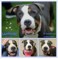 Andrew Bogut, Beautiful, and Dogs: Manhattan Animal Care Center  SAPPHIRE  12 month old  ID# 44687  puppy love. Puppy Love <3 Stunningly beautiful Sapphire is just 12 mos old. She has the most soulful eyes and a friendly personality, likes to be petted and would love to find a good home again where she is welcome forever. Please share!  Sapphire ID# 44687 Manhattan Animal Care Center 12 months young, 68 lbs Tricolor Spayed Female Large Mixed Breed Cross Owner Surrender Reason: not known yet Intake Date: 10-16-2018  CAME IN WITH Blue 44686  We want to get the dogs seen early to better their chances of survival, we will no longer wait for detailed information like owner surrender notes, Safers and volunteer write ups - but please check back frequently as we will add all if this information as we get it. THANX IN ADVANCE!  *** TO FOSTER OR ADOPT ***  If you would like to adopt a NYC ACC dog, and can get to the shelter in person to complete the adoption process, you can contact the shelter directly. We have provided the Brooklyn, Staten Island and Manhattan information below. Adoption hours at these facilities is Noon – 8:00 p.m. (6:30 on weekends)  If you CANNOT get to the shelter in person and you want to FOSTER OR ADOPT a NYC ACC Dog, you can PRIVATE MESSAGE our Must Love Dogs page for assistance. PLEASE NOTE: You MUST live in NY, NJ, PA, CT, RI, DE, MD, MA, NH, VT, ME or Northern VA. You will need to fill out applications with a New Hope Rescue Partner to foster or adopt a NYC ACC dog. Transport is available if you live within the prescribed range of states.  Shelter contact information: Phone number (212) 788-4000 Email adopt@nycacc.org  Shelter Addresses: Brooklyn Shelter: 2336 Linden Boulevard Brooklyn, NY 11208 Manhattan Shelter: 326 East 110 St. New York, NY 10029 Staten Island Shelter: 3139 Veterans Road West Staten Island, NY 10309
