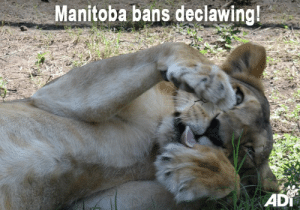 Animals, Cats, and Memes: Manitoba bans declawing!  ADI Great news! Veterinarians in Manitoba, Canada, have voted to ban the practice of declawing cats with immediate effect. The Canadian province is now the sixth to ban this cruel procedure, akin to having the tops of your fingers removed and causing ongoing discomfort.   It's not just domestic cats who suffer this painful practice. Circus big cats do too, including many of the animals subsequently rescued by ADI (among them Nena, pictured).  Support our work to stop such circus suffering, and the rescue missions we undertake to help enforce bans on animal acts, such as our current Operation Liberty mission in Guatemala.   Help care for the 21 lions and tigers we have removed from circuses in the country until they go to their forever homes.  Donate in US$: https://donate.adiusa.org/guatemala/  Donate in UK£: https://donate.ad-international.org/guatemala/