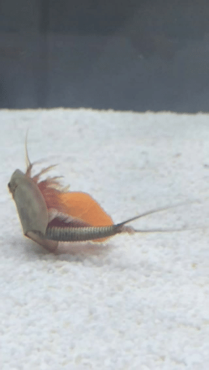 mantaabyssus:  former-fatty: the-long-dog:  equagga:  chibimonkey:  nami-sore:  My little friends love carrots! They don't even care about anything they just wanna nibble the carrots  I'm distracting myself from life by researching triops  the first time I saw this video I was PMS-ing and when he sandwiched himself between two carrots I burst into tears  I want to be half as excited as this little dude is.   Scary prehistoric monsters doing cute things is surprisingly compelling.   TRIOPS AAAAAAAA: mantaabyssus:  former-fatty: the-long-dog:  equagga:  chibimonkey:  nami-sore:  My little friends love carrots! They don't even care about anything they just wanna nibble the carrots  I'm distracting myself from life by researching triops  the first time I saw this video I was PMS-ing and when he sandwiched himself between two carrots I burst into tears  I want to be half as excited as this little dude is.   Scary prehistoric monsters doing cute things is surprisingly compelling.   TRIOPS AAAAAAAA