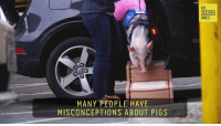 She makes a p-oink.  via 60 Second Docs: MANY PEOPLE HAVE  MISCONCEPTIONS ABOUT PIGS  60  SECOND  DOCS She makes a p-oink.  via 60 Second Docs