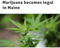 Maine on Monday becomes the eighth state in the nation to allow adults over the age of 21 to possess and consume Marijuana for recreational purposes. Maine joins six Western states and neighboring Massachusetts in allowing recreational pot, after voters narrowly passed a ballot measure in November. Adults will be allowed to possess up to two and a half ounces of marijuana, and to grow up to 18 plants at home. 👀🍁 (via @thehill) WSHH: Marijuana becomes legal  in Maine Maine on Monday becomes the eighth state in the nation to allow adults over the age of 21 to possess and consume Marijuana for recreational purposes. Maine joins six Western states and neighboring Massachusetts in allowing recreational pot, after voters narrowly passed a ballot measure in November. Adults will be allowed to possess up to two and a half ounces of marijuana, and to grow up to 18 plants at home. 👀🍁 (via @thehill) WSHH