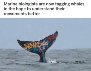 Art from Josh Keyes: Marine biologists are now tagging whales,  in the hope to understand their  movements better Art from Josh Keyes