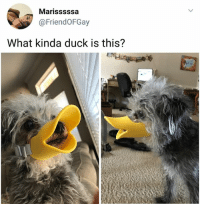 Memes, Duck, and 🤖: Marisssssa  @FriendOFGay  What kinda duck is this? Whomst dug is this ? (tw-russyfan) | Follow @aranjevi for more!