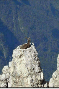 "Pakistan, King, and Top: ""Markhor, The king of Gilgit Baltistan,Pakistan"" enjoying at the top of the mountain."