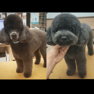 Same handsome boy.. Same groomer.. Two different styles!: MART Same handsome boy.. Same groomer.. Two different styles!