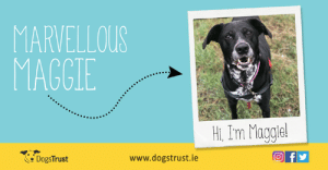 Beautiful, Confidence, and Dogs: MARVELLOUS  MAGGIE  m Maggie!  www.dogstrust.ie  DogsTrust Soopa Treats have teamed up with Dogs Trust to help find homes for lost and abandoned dogs. Maggie is a beautiful and bright 9-year-old female Labrador cross looking for a calm and understanding home to call her own. She can find the world to be quite scary, so she will need some help to grow her confidence, but once Maggie gets to know you, she will lavish you in love!  Maggie would love a home in a quiet area with a loving family to show her that she doesn't need to be scared anymore. Despite her fears, Maggie is a very brave girl that just needs time to build up her confidence. She loves nothing more than belly rubs and chasing tennis balls!  If you think you can offer Maggie a loving home, then please contact Dogs Trust on 01 879 1000. They are based in Finglas, just off exit 5 on the M50. Map and directions can be found on their website www.dogstrust.ie. You can also find them on Facebook www.facebook.com/dogstrustirelandonline  or Twitter @DogsTrust_IE