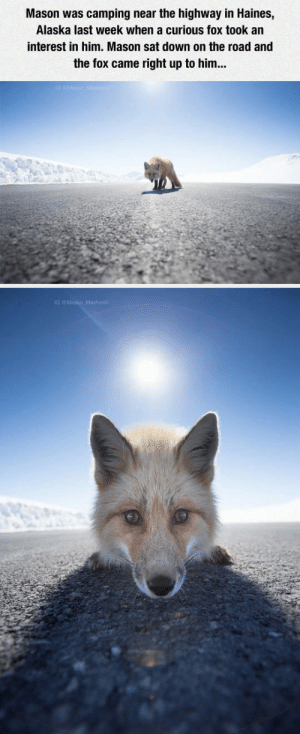 laughoutloud-club:  Close Encounter With A Curious Fox : Mason was camping near the highway in Haines,  Alaska last week when a curious fox took an  interest in him. Mason sat down on the road and  the fox came right up to him... laughoutloud-club:  Close Encounter With A Curious Fox