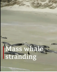 Alive, Animals, and Bodies : Mass whale  stranding A beach strewn with the bodies of almost 150 whales. These animals became stranded on a bay in New Zealand – and it was too late to save those still alive. Click the link in our bio to read more. whales environment conservation NewZealand BBCNews