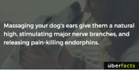 Memes, 🤖, and Endorphins: Massaging your dog's ears give them a natural  high, stimulating major nerve branches, and  releasing pain-killing endorphins.  uber  facts You know what to do.