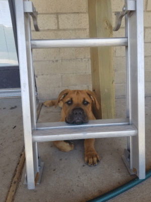 Mastiffs have the best pouty faces.: Mastiffs have the best pouty faces.