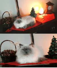 matissethecatto:  adaru32:  My one cat Butters makes a nice Christmas decoration.  christmas loaf  :000000: matissethecatto:  adaru32:  My one cat Butters makes a nice Christmas decoration.  christmas loaf  :000000