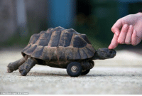 rats did this tortoise dirty and gnawed off his front legs so they gave him wheels now he grindin faster than ever: Matt Scott-Joynt, Ma Y News rats did this tortoise dirty and gnawed off his front legs so they gave him wheels now he grindin faster than ever