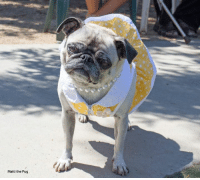 Memes, Dollar Store, and Pugs: Matti the Pug Can you find buck teeth at the dollar store?