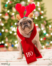"Confidence, Memes, and Rudolph the Red-Nosed Reindeer: Matti the Pug  HO One Christmas, a mother asked her young daughter if she could name two of Santa's reindeer.  ""Rudolph and Olive,"" replied the young girl confidently.  ""Rudolph and Olive?"" said the mother, quizzically. ""Are you sure?""  ""Yes, mommy, Rudolph and Olive. Like in the song.""  ""The song?"" asked the mother. ""What song?""  The girl sang, ""Rudolph the red-nosed reindeer, had a very shiny nose. And if you ever saw it, you would even say it glows. Olive the other reindeer...."""