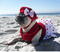 "I'll be meeting Minnie & Max the Pugs at Diggidy Dog in Carmel from noon-2pm today to kickoff of GoPetFriendly.com ""Ultimate Pet Friendly Road Trip!""  Expecting sunny beach weather!!: Matti the Pug I'll be meeting Minnie & Max the Pugs at Diggidy Dog in Carmel from noon-2pm today to kickoff of GoPetFriendly.com ""Ultimate Pet Friendly Road Trip!""  Expecting sunny beach weather!!"