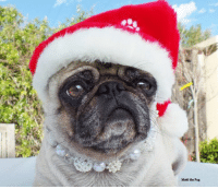 What do you call a kid who doesn't believe in Santa?  A rebel without a Claus!!!: Matti the Pug What do you call a kid who doesn't believe in Santa?  A rebel without a Claus!!!