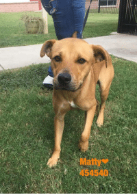 Dogs, Food, and Memes: Matty  454540 Email Placement@sanantoniopetsalive.org if you are interested in Adopting, Fostering, or Rescuing!  Our shelter is open from 11AM-7PM Mon -Fri, 11AM-5PM Sat and 11AM-5PM Sun.  Urgent Pets are at Animal Care Services Campus and SAPA! is Only in Bldg 1 GO TO SAPA BLDG 1 & bring the Pet's ID! Address: 4710 Hwy. 151 San Antonio, Texas 78227 (Next Door to the San Antonio Food Bank on 151 Access Road)  **All Safe Dogs can be found in our Safe Album!** ---------------------------------------------------------------------------------------------------------- **SHORT TERM FOSTERS ARE NEEDED TO SAVE LIVES- email placement@sanantoniopetsalive.org if you are interested in being a temporary foster!!**