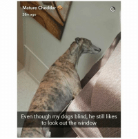 Dogs, Fac, and Friends: Mature Cheddar  28m ago  Even though my dogs blind, he still likes  to look out the window Comment Dog letter by letter Tag 3 friends Follow @sextedme for more Follow @fac.kk for more Follow @hot.girls6999 for more
