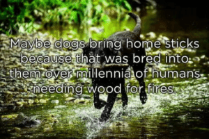 laughoutloud-club:  Just maybe: Mavioe dogs oring home StiCKS  ecause that was bred into:  them over millennia of humans laughoutloud-club:  Just maybe