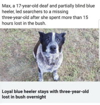 Lost, Blue, and Old: Max, a 17-year-old deaf and partially blind blue  heeler, led searchers to a missing  three-year-old after she spent more than 15  hours lost in the bush.  Loyal blue heeler stays with three-year-old  lost in bush overnight <p>Missing 3 y/o found safe next morning with faithful old dog keeping her safe.</p>