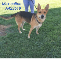 Dogs, Food, and Memes: Max colton  A423619 Email Placement@sanantoniopetsalive.org if you are interested in Adopting, Fostering, or Rescuing!  Our shelter is open from 11AM-7PM Mon -Fri, 11AM-5PM Sat and Sun.  Urgent Pets are at Animal Care Services/151 Campus. SAPA! is Only in Bldg 1 GO TO SAPA BLDG 1 & bring the Pet's ID! Address: 4710 Hwy. 151 San Antonio, Texas 78227 (Next Door to the San Antonio Food Bank on 151 Access Road)  **All Safe Dogs can be found in our Safe Album!** ---------------------------------------------------------------------------------------------------------- **SHORT TERM FOSTERS ARE NEEDED TO SAVE LIVES- email placement@sanantoniopetsalive.org if you are interested in being a temporary foster!!**