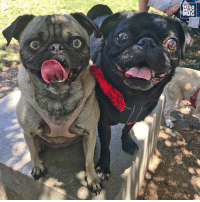 "Memes, 🤖, and Ozzy: ""Me and Rufus would like to be known as 'the eyeballs crew' thanks"" -Ozzy w-@realrufuspug lapugmeetup"