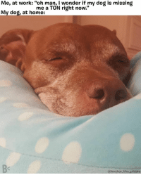 """Memes, Work, and Home: Me, at work: """"oh man, I wonder if my dog is missing  My dog, at home:  me a TON right now.""""  @hector_the pibble Oooooor he's sleeping... he's probably sleeping 😴 . . . . . @hector_the_pibble pibblesofinstagram"""