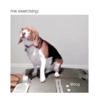 Animals, Funny, and Animal: me exercising:  @dog My spirit animal (@animals_comedyy)