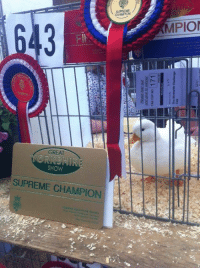 Supreme, Champion, and Show: ME  MPIO  GREAT  SHOW  SUPREME CHAMPION SUPREME CHAMPION