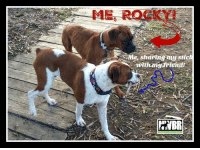 Family, Hello, and Love: ME, ROCKY  Me, sharing ny stic  NBR Rocky 3 Male  3yr old Spokane, WA  Hello all!! My name is Rocky 3!!  Do you believe in offering chances to shine? I am in my prime and ready for the best forever home ever. I love people, can't wait to greet the world, love me a good walk and have the itch to play. I need a play pal my size or larger, my current foster brother is 180 pounds, we love to wrestle.  I've got plenty of basic training and am really good at sit, stay, wait and heel. My foster mom says I'm a good student and quick learner.  I'm seeking a dedicated family that will play, engage, do stuff with me and give me lots and lots of love. I'm a cuddle bug who wants nothing more than to please, so you give me some direction and whoo hoo, I am the bestest pup ever!!   Please apply for this amazing pup at:  http/://bit.ly/nwbr-application