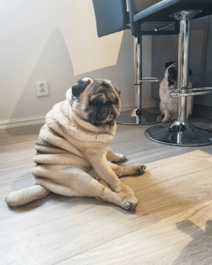 Club, Cute, and Dank: Me sitting here trying to figure out how to get a summer body in 2 weeks By thepugwithrolls | IG  Join The Barked Club to see more cute dogs on your feed!
