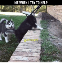 Dank, Puppies, and Husky: ME WHEN I TRY TO HELP  et lost  IGomy winterfelts siieran hug ies Husky puppies confront their biggest obstacle in life. (By MyWinterfell's Siberian Huskies)