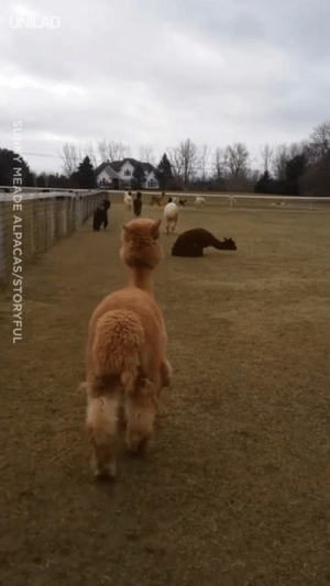 'The alpacas have been stuck inside for 10 days due to the cold weather. Today they finally got to go out...' 😊😍: MEADE ALPACAS/STORYFUL 'The alpacas have been stuck inside for 10 days due to the cold weather. Today they finally got to go out...' 😊😍