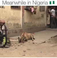casanova in the hoods of Nigeria 🇳🇬 with Hyenas 😱 Follow @bars for more ➡️ DM 5 FRIENDS: Meanwhile in Nigeria I casanova in the hoods of Nigeria 🇳🇬 with Hyenas 😱 Follow @bars for more ➡️ DM 5 FRIENDS