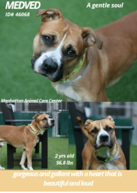 "Beautiful, Click, and Dogs: MEDVED  ID# 46068  A gentie soul  Manhattan Animal Care Center  2yrs old  56.8 lbs  gorgeous and gallant with a heart that is  beautiful and loud TO BE KILLED - 11/08/2018  Gentle Soul...Gorgeous and gallant with a heart that is beautiful & loud....  A volunteer writes: I'm a sucker for a gentle soul. A quiet presence completely unassuming, but with a heart that is beautiful and loud. So it's no wonder that 2 year-old Medved caught my attention straight away. Laying calmly in his kennel, head tilted to one side at my invitation of a walk, as if being chosen among so many was an honor he'd never even hoped to receive. But the honor was mine as this gorgeous and gallant boy and I slowly made our way to the park. And despite a back leg that seemed to give him some trouble, Medved didn't trouble me at all. In fact, he was the perfect gentleman. Eventually we retire to the yard where our slightly bashful boy wants little more than some rest and relaxation. And when he leans into my side for a rub and a snuggle, it's my heart that's now beating loud. Medved is a mild-mannered, affectionate boy who, given his initial shyness with strangers, might do best in an experienced home, one with lots of patience and love. I'm a sucker for a gentle soul and you will be, too. Come meet one of the gentlest today. Medved is waiting in adoptions at Manhattan ACC.  VIDEOS:  https://youtu.be/xKgIp7x_IbM https://youtu.be/aJj6HFnvtIE  Medved ID# 46068 MANHATTAN ANIMAL CARE CENTER Age: 2 years old Male,Is Vaccinated: Yes, Tan/White , Weight: 56.8 lbs.  Found Stray Intake Date: 10-31-2018  SHELTER ASSESSMENT ~ AVERAGE HOME  BEHAVIOR NOTES  Means of surrender (length of time in previous home): Stray  SAFER SCORES; Date of assessment: 1-Nov-2018  Look: 1. Dog's eyes are averted, with tail wagging and ears back. Allows head to be held loosely in Assessor's cupped hands.  Sensitivity: 1. Dog leans into the Assessor, eyes soft or squinty, soft and loose body, open mouth.  Tag: 1. Dog follows at the end of the leash, body soft.  Paw squeeze 1: 2. Dog quickly pulls back.  Paw squeeze 2: 2. Dog quickly pull back.  Flank squeeze 1: Item not conducted  Flank squeeze 2: Item not conducted  Toy: 1. Minimal interest in toy, dog may smell or lick, then turns away.  Summary: Medved approached the assessor with a soft body. He was social throughout the assessment, allowed all handling, and displayed no concerning behaviors.  Summary (1):  11/1: When introduced off leash to the female greeter dog, Medved follows and attempts to mount.  Summary (2):  11/3: Medved greeted the female helper dog politely but preferred to explore the yard. He may make attempts to mount but listens to correction.  Date of intake: 31-Oct-2018 Summary: Tense with some staff, had a softer body with others.  Date of initial: 31-Oct-2018 Summary: Allowed handling  ENERGY LEVEL:  We have no history on Medved so we cannot be certain of his behavior in a home environment. However, he is a young, enthusiastic, social dog who will need daily mental and physical activity to keep him engaged and exercised. We recommend long-lasting chews, food puzzles, and hide-and-seek games, in additional to physical exercise, to positively direct his energy and enthusiasm.  BEHAVIOR DETERMINATION:  AVERAGE (suitable for an adopter with an average amount of dog experience)  MEDICAL EXAM NOTES   31-Oct-2018 DVM Intake Exam  Estimated age: ~1.5-3yrs based on PE.  Microchip noted on Intake? scanned negative. placed by LVT   History : Stray brought in by police   Subjective / Observed Behavior - BAR; Allows all handling. enjoys treats and being pet.   Evidence of Cruelty seen - none  Evidence of Trauma seen - none   Objective  BCS 5/9 EENT: Eyes clear, ears had mild brown debris, no nasal or ocular discharge noted Oral Exam: dc 0/5; pd 0/5  PLN: No enlargements noted H/L: No murmur ausculted; CRT < 2, Lungs clear, eupnic ABD: Non painful, no masses palpated U/G: intact male. unilateral cryptorchid, suspect abdominal. Possible testicle palpated deep within the right inguinal region; cannot rule out enlarged LN.  MSI: Ambulatory x 4, skin free of parasites, no masses noted, healthy hair coat CNS: Mentation appropriate - no signs of neurologic abnormalities Rectal: externally normal.   Assessment unilateral cryptorchid, suspect abdominal   Prognosis: excellent   Plan: ear cleaning  ok for sx   SURGERY: Okay for surgery  * TO FOSTER OR ADOPT *   HOW TO RESERVE A ""TO BE KILLED"" DOG ONLINE (only for those who can get to the shelter IN PERSON to complete the adoption process, and only for the dogs on the list NOT marked New Hope Rescue Only). Follow our Step by Step directions below!   PLEASE NOTE – YOU MUST USE A PC OR TABLET – PHONE RESERVES WILL NOT WORK! *  STEP 1: CLICK ON THIS RESERVE LINK: https://newhope.shelterbuddy.com/Animal/List  Step 2: Go to the red menu button on the top right corner, click register and fill in your info.   Step 3: Go to your email and verify account  \ Step 4: Go back to the website, click the menu button and view available dogs   Step 5: Scroll to the animal you are interested and click reserve   STEP 6 ( MOST IMPORTANT STEP ): GO TO THE MENU AGAIN AND VIEW YOUR CART. THE ANIMAL SHOULD NOW BE IN YOUR CART!  Step 7: Fill in your credit card info and complete transaction   HOW TO FOSTER OR ADOPT IF YOU CANNOT GET TO THE SHELTER IN PERSON, OR IF THE DOG IS NEW HOPE RESCUE ONLY!   You must live within 3 – 4 hours of NY, NJ, PA, CT, RI, DE, MD, MA, NH, VT, ME or Norther VA.   Please PM our page for assistance. You will need to fill out applications with a New Hope Rescue Partner to foster or adopt a dog on the To Be Killed list, including those labelled Rescue Only. Hurry please, time is short, and the Rescues need time to process the applications."