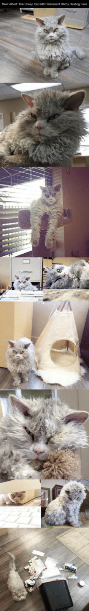 Albert the sheep cat. Resting bitchface defined.: Meet Albert: The Sheep Cat with Permanent Bitchy Resting Face Albert the sheep cat. Resting bitchface defined.