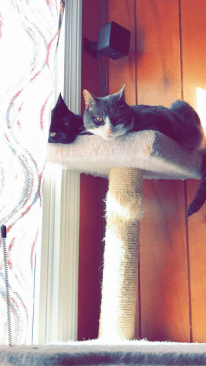Meet Arya and Sasha, adopted three years apart, separate liters. Only took 1 week for them to get along! They are now inseparable. 😻: Meet Arya and Sasha, adopted three years apart, separate liters. Only took 1 week for them to get along! They are now inseparable. 😻