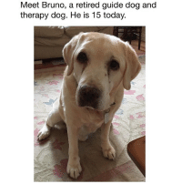 (@hilarious.ted) posts cute animal memes that make me happy. - (📷: Reddit u-buffalo171): Meet Bruno, a retired guide dog and  therapy dog. He is 15 today. (@hilarious.ted) posts cute animal memes that make me happy. - (📷: Reddit u-buffalo171)