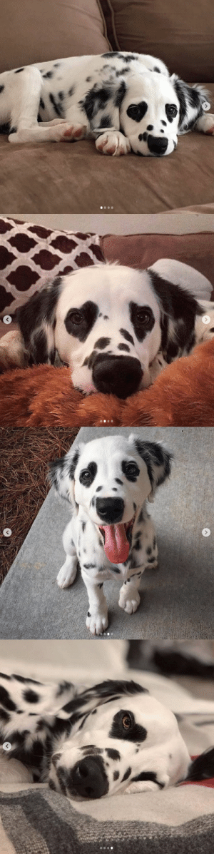Meet Charlie! Those heart eyes are gonna melt your heart 🐶❤via @charlie.the.dalmatian: Meet Charlie! Those heart eyes are gonna melt your heart 🐶❤via @charlie.the.dalmatian