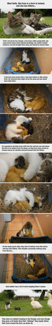"""<p>Della, The Cat Who Adopted Dinner.</p>: Meet Della. She lives in a farm in Ireland  and she has kittens..  That's not all she has, though: a few hours within giving birth, she  came across these newly hatched ducklings. Her mother instinct  kicked in, and she brought them along and started to nurture them.  If she had come across them a few hours before or after giving  birth, her hormone level might not be the same and she would  have eaten them.  It's amazing to see them draw milk from her, and one can only guess  that this is an instinct from the ducks, as they have come across an  unusual source for nutrition and just learned from the kittens.  As the ducks grow older, they start to behave more like ducks  and less like kittens. This includes constantly walking away  from the box..  And mother has a lot of work keeping them in place.  They have no problem keeping in line though, and even thouglh  they grow a lot faster than their """"siblings"""" they loyally follow  their mom around the farm, as ducks do. <p>Della, The Cat Who Adopted Dinner.</p>"""