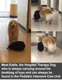 Memes, 🤖, and Page: Meet Eddie, the Hospital Therapy Dog  who is always carrying around his  bookbag of toys and can always be  found in the Pediatric Intensive Care Unit Make sure to like the Tickld page for more!  He's a good boy.