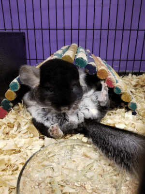 Meet Edison, my sweet chinchilla! I love his little toe beans so much. I hope he makes you smile.: Meet Edison, my sweet chinchilla! I love his little toe beans so much. I hope he makes you smile.