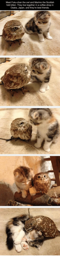 Friends, Life, and Best: Meet Fuku-chan the owl and Marimo the Scottish  fold kitten. They live together in a coffee shop in  Osaka, Japan, and they're best friends <p>Buddies For Life.</p>